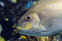 Guttatus Siganus rabbitfish желтого пятна - тропическая рыба моря Стоковые Изображения