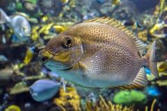 Guttatus Siganus rabbitfish желтого пятна - тропическая рыба моря Стоковые Фотографии RF