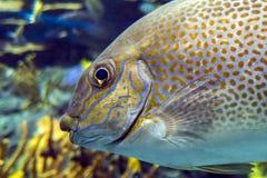Guttatus Siganus rabbitfish желтого пятна - тропическая рыба моря Стоковое Фото