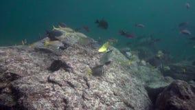 Guttatus van Whitespottedsurgeonfish Acanthurus, passer van Koningsangelfish holacanthus school van Gestreepte groot-oogbrasem stock videobeelden