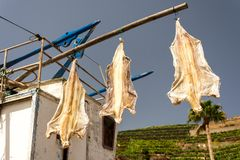 Dry castfish. Gutted catfish left out to dry in the Madeiran sun stock photo