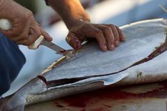 Gutted Fish. Fishermen cleaning and filleting a fresh caught saltwater fish Stock Photos