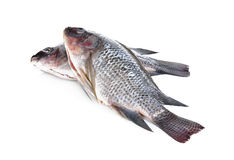 Gutted and scaled Nile Tilapia fish on white background Royalty Free Stock Photo
