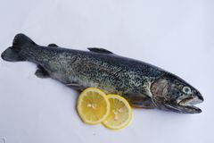 Gutted trout with lemon. Fresh gutted trout on white background with two lemons Stock Image