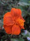 Gutti-Blume Lizenzfreies Stockfoto