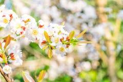 Guttiferae flower blossom stock photos