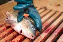 Gutting carp Royalty Free Stock Photos