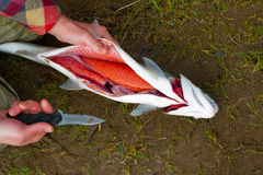 Gutting a Steelhead. A fisherman shows how to gut a steelhead with a knife on the river bank Stock Images