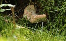 Guttulatus Oligoporus, вид Polyporaceae грибной семьи, с водой падает Стоковое Изображение RF