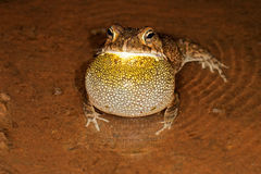 Guttural toad calling. Male guttural toad (Amietophrynus gutturalis) calling in shallow water, South Africa Royalty Free Stock Photo
