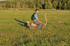 The guy with the backpack sits on ostrich Stock Photos