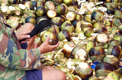 Guy cutting to open Sugar palm fruit, toddy trpical plant Stock Photo