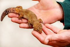 Boy with gecko. Man holds in hands reptile gecko. Common leopard reptile gecko pets. Exotic tropical cold-blooded animals, zoo. Guy with gecko. Man holds in stock images