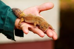 Boy with gecko. Man holds in hands reptile gecko. Common leopard reptile gecko pets. Exotic tropical cold-blooded animals, zoo. Guy with gecko. Man holds in stock photography