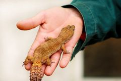 Boy with gecko. Man holds in hands reptile gecko. Common leopard reptile gecko pets. Exotic tropical cold-blooded animals, zoo. Guy with gecko. Man holds in royalty free stock photography