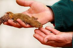 Boy with gecko. Man holds in hands reptile gecko. Common leopard reptile gecko pets. Exotic tropical cold-blooded animals, zoo. Guy with gecko. Man holds in royalty free stock images