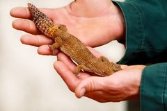 Boy with gecko. Man holds in hands reptile gecko. Common leopard reptile gecko pets. Exotic tropical cold-blooded animals, zoo. Guy with gecko. Man holds in royalty free stock photos