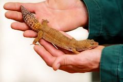 Boy with gecko. Man holds in hands reptile gecko. Common leopard reptile gecko pets. Exotic tropical cold-blooded animals, zoo. Guy with gecko. Man holds in royalty free stock image