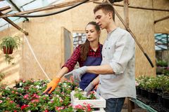 Guy and girl gardeners choose pots with flower seedlings in greenhouse on a sunny day. royalty free stock image