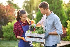 Guy and girl gardeners hold the white wooden box in hands and put there pots with seedlings on a sunny day in the royalty free stock photography