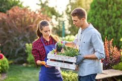 Guy and girl gardeners hold the white wooden box in hands and put there pots with seedlings on a sunny day in the stock image