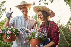Guy and girl gardeners in a straw hats hold pots with wonderful petunia on the garden path in  on a sunny day. royalty free stock image
