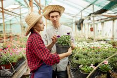 Guy and girl gardeners  in a straw hats holds and looks at the pot with flower in greenhouse on a sunny day. royalty free stock images