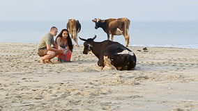 Guy Girl Squat on Sand Beach Watch Close Cows by Ocean Surf stock video footage