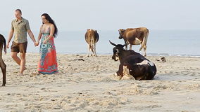 Guy Girl Squat on Sand Beach Watch Close Cows by Ocean Surf stock footage