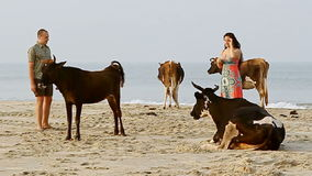 Guy Girl Walk among Holy Cows on Sand Beach by Ocean Surf stock video