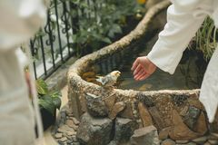 The guy holds out his hand to a beautiful little parrot on the background of an artificial pond. The young man wants to touch royalty free stock photo