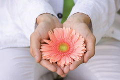 Guy holds or stretches of pink gerbera flower Royalty Free Stock Photography