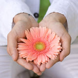 Guy holds or stretches of pink gerbera flower Stock Image