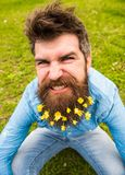 Guy with lesser celandine flowers in beard taking selfie photo. Hipster with angry grimace on face taking selfie photo. Mad mood concept. Man enjoys spring stock image
