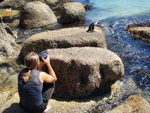 Guy makes a photo of Cape penguin Royalty Free Stock Images