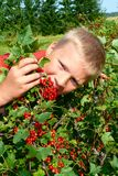 The guy picking red currants Stock Images