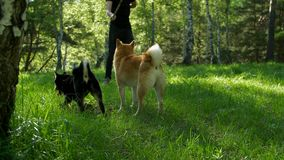 Two Shiba dogs walk through the summer forest. The guy is playing with the dogs of the breed of shiba in the woods stock video