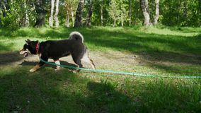 Two Shiba dogs walk through the summer forest. The guy is playing with the dogs of the breed of shiba in the woods stock footage