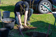 Guy put the tree. Young guy planting bushes near his house Stock Photo