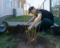 Guy put the tree. Young guy planting bushes near his house Royalty Free Stock Photo