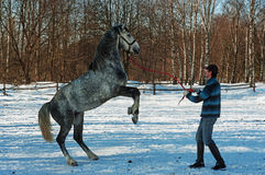 The guy and reared gray horse. Stock Image