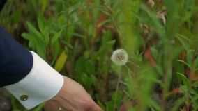 Guy is ripping off a dandelion. Close up stock footage