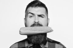 Guy shows his harvest. Farming and autumn crops concept. Farmer with confused face. With yellow corn in mouth. Man with beard holds ripe corn cob isolated on royalty free stock photo