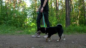 A guy are walking in the woods with dogs. Of the breed of shiba stock footage