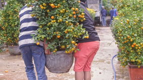 Guys Lift up and Carry Tangerine Tree Pot at Market stock video footage