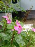 Guzika kwiat fotografia royalty free