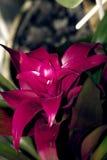 Guzmania桃红色花特写镜头照片 库存照片