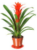 Guzmania Royalty Free Stock Images