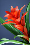 Guzmania Stock Photos