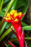 Guzmania flower in chiangmai province Thailand Stock Image